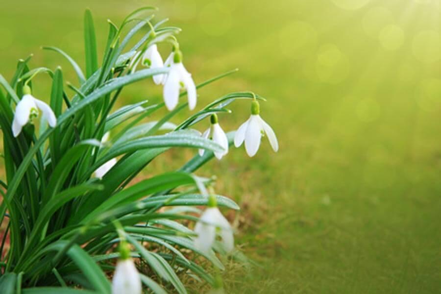 Frühling mit Schneeglöckchen