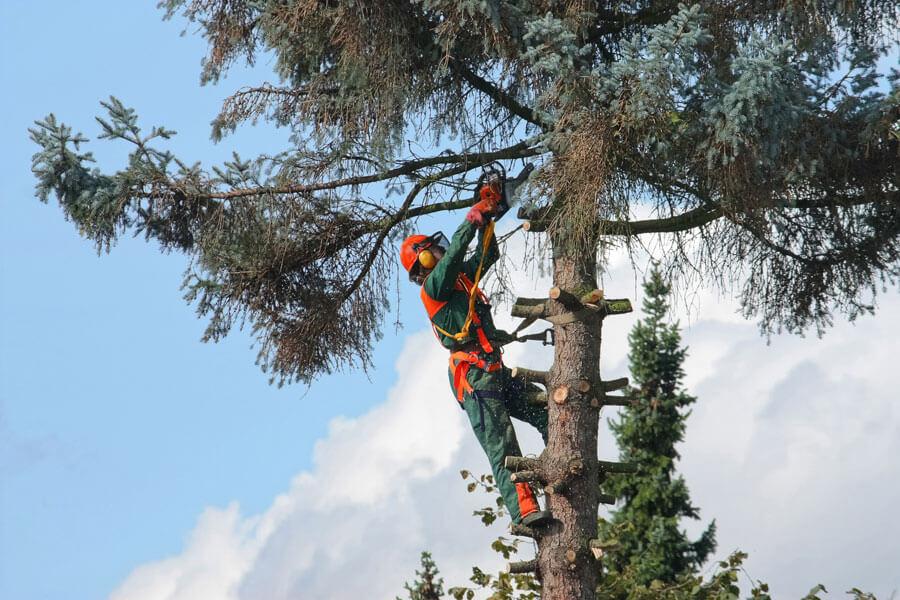 Beschnitt von Bäumen